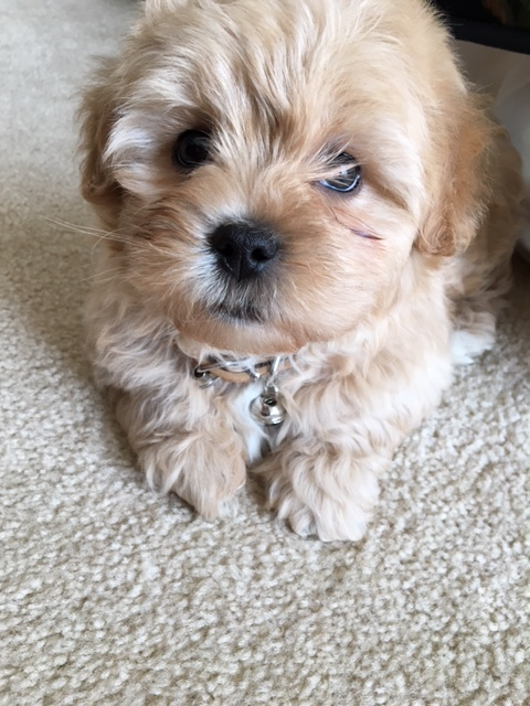 Shihpoo puppy